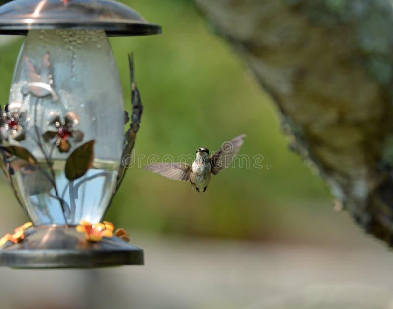 hummingbirds royaltyfria foton
