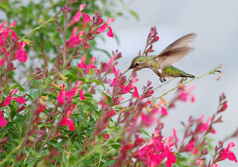 hummingbirds arkivfoto