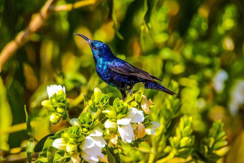 hummingbirds arkivfoto