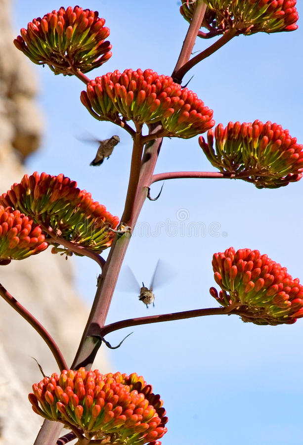 Free Hummingbirds Around An Agave Bloom Stock Image - 25442371