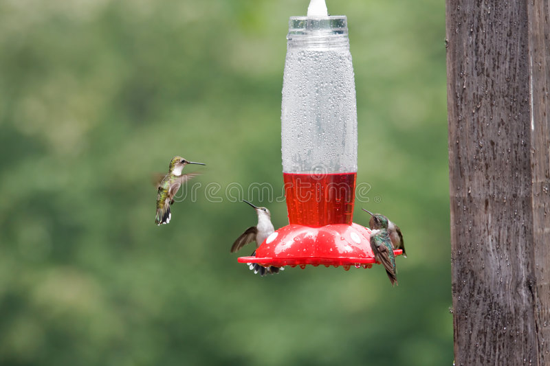 Download Hummingbirds on Feeder stock image. Image of birds, green - 5899185