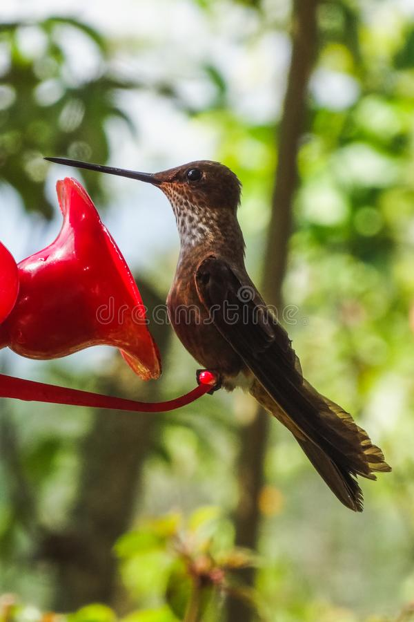 Hummingbirds at the feeder in cocora valley royalty free stock photos