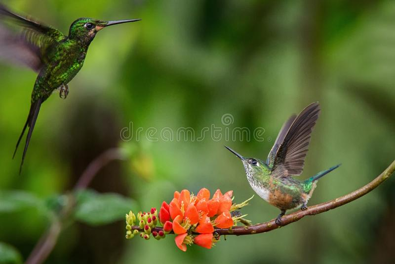 Hummingbirds in fight on orange flower,typical bird behaviour,tropical forest,Ecuador,birds on branch in garden royalty free stock photos