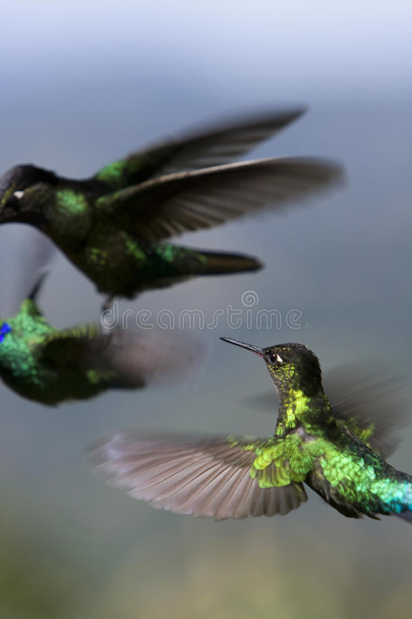 Hummingbirds Fighting Royalty Free Stock Images
