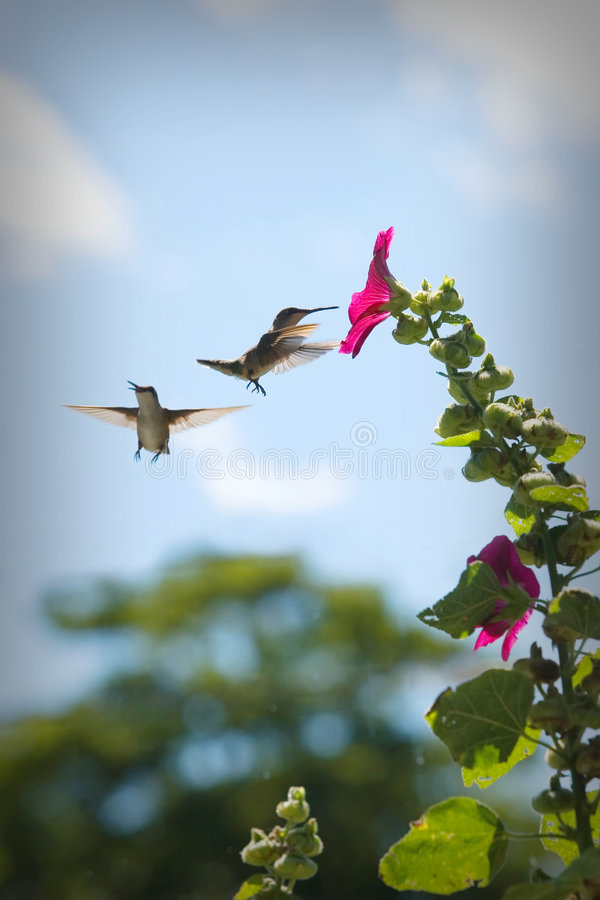 Download Hummingbirds at a Flower stock image. Image of flying - 4982239
