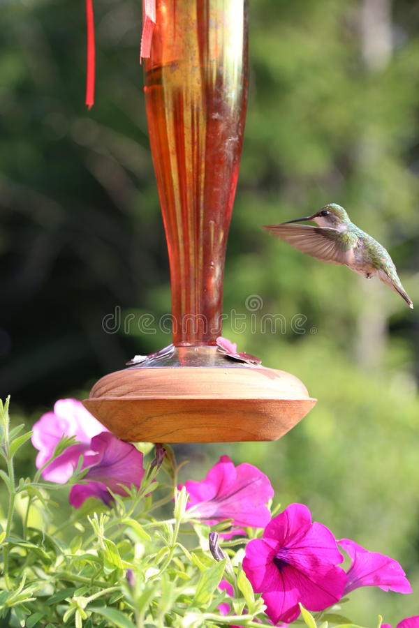 Hummingbirds and Flowers stock image