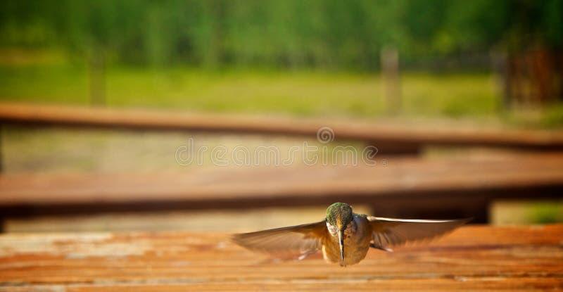 Hummingbirds i flyg arkivfoton