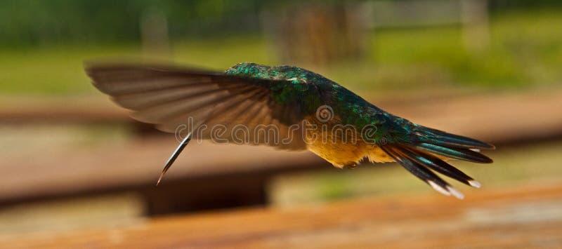 Hummingbirds i flyg arkivbilder