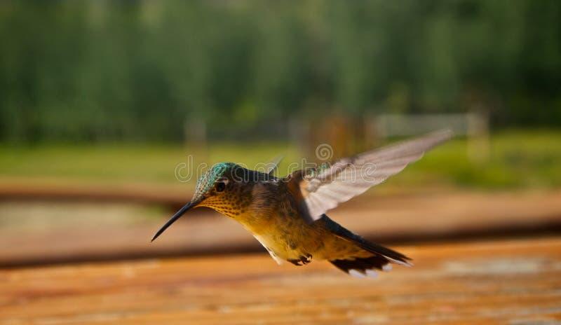 Hummingbirds i flyg fotografering för bildbyråer