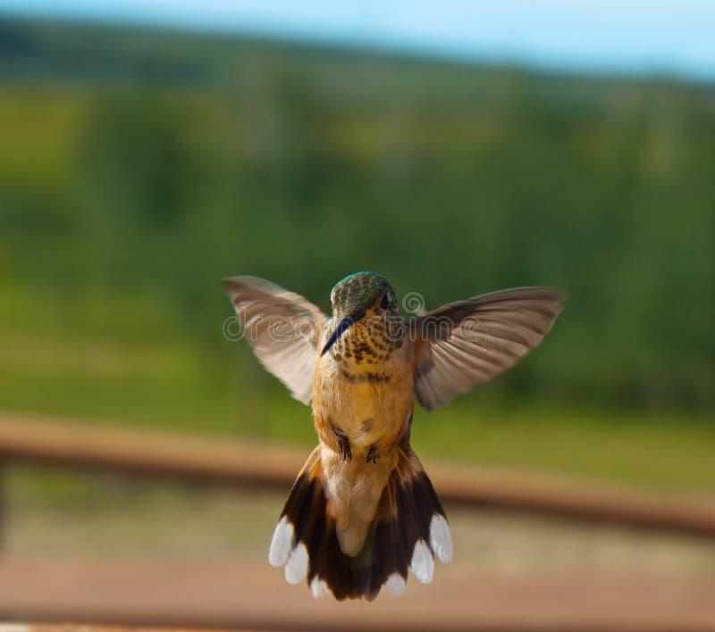 Hummingbirds i flyg royaltyfria bilder