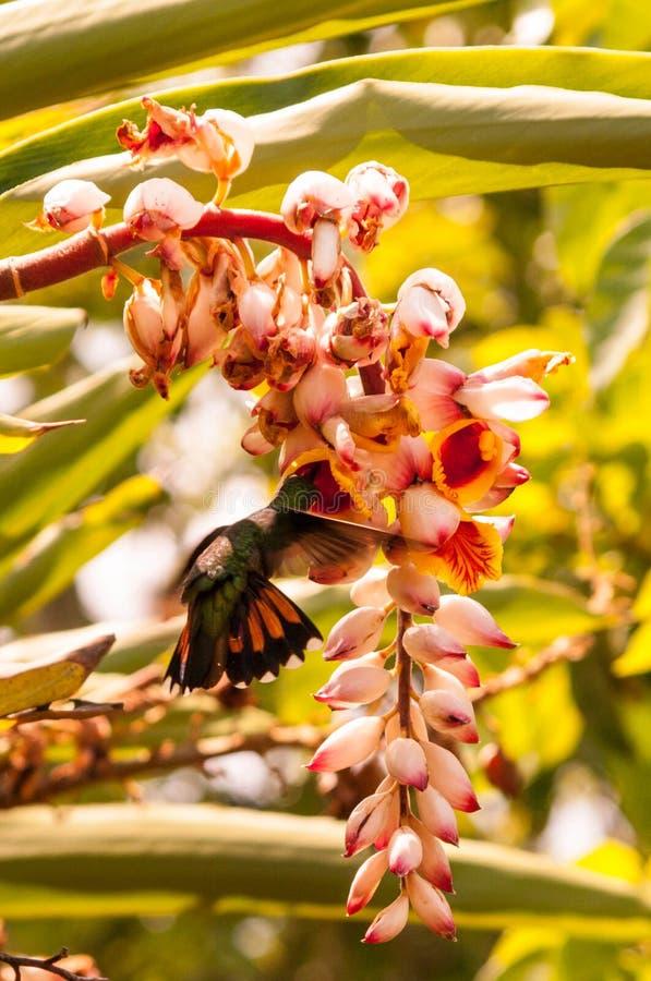 Hummingbirds i flyg arkivfoto