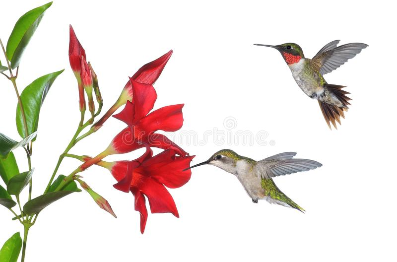 Hummingbirds At Mandevilla Flowers Stock Photo Image Of