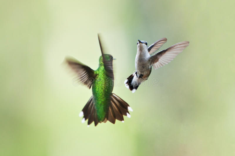 Hummingbirds mating dance