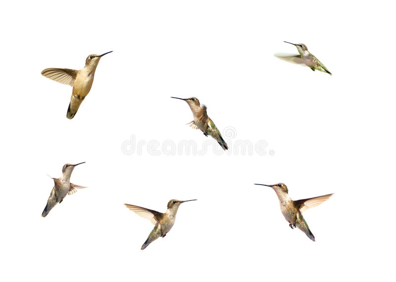 Download Hummingbirds In Motion On White. Stock Photo - Image: 20689754
