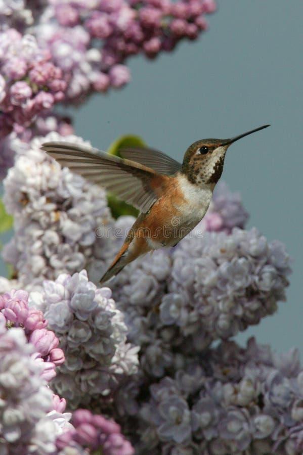 Hummingbirds, natura klejnoty obrazy stock