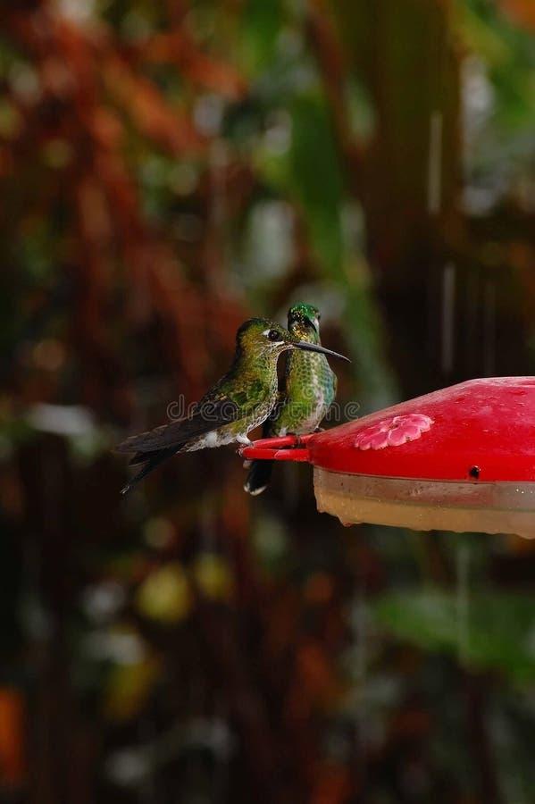 Hummingbirds på förlagematare royaltyfria foton