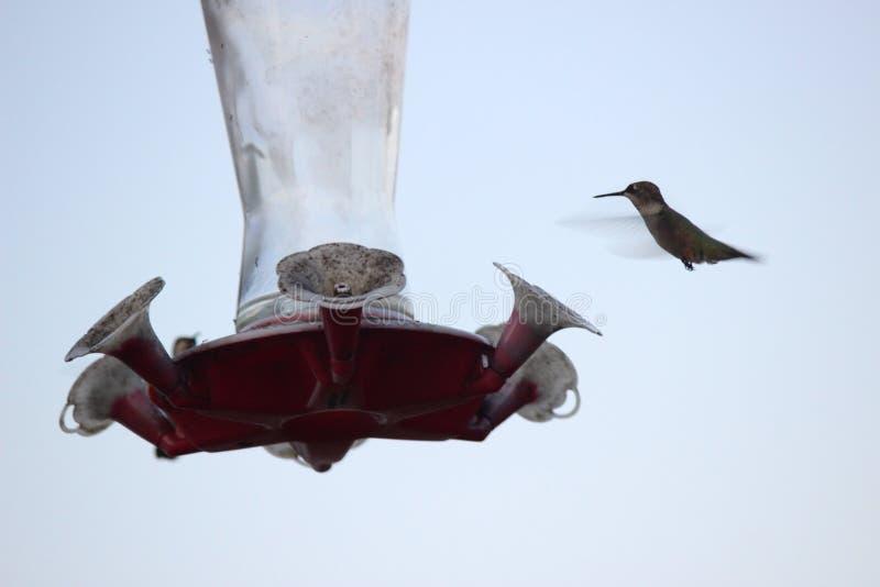 Hummingbirds på förlagematare arkivfoton