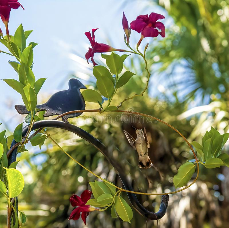 Hummingbirds remember every flower they`ve ever visited for nectar and will go back to them time and again royalty free stock photo