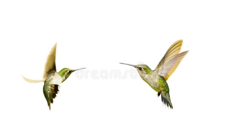 Hummingbirds som isoleras. arkivfoton