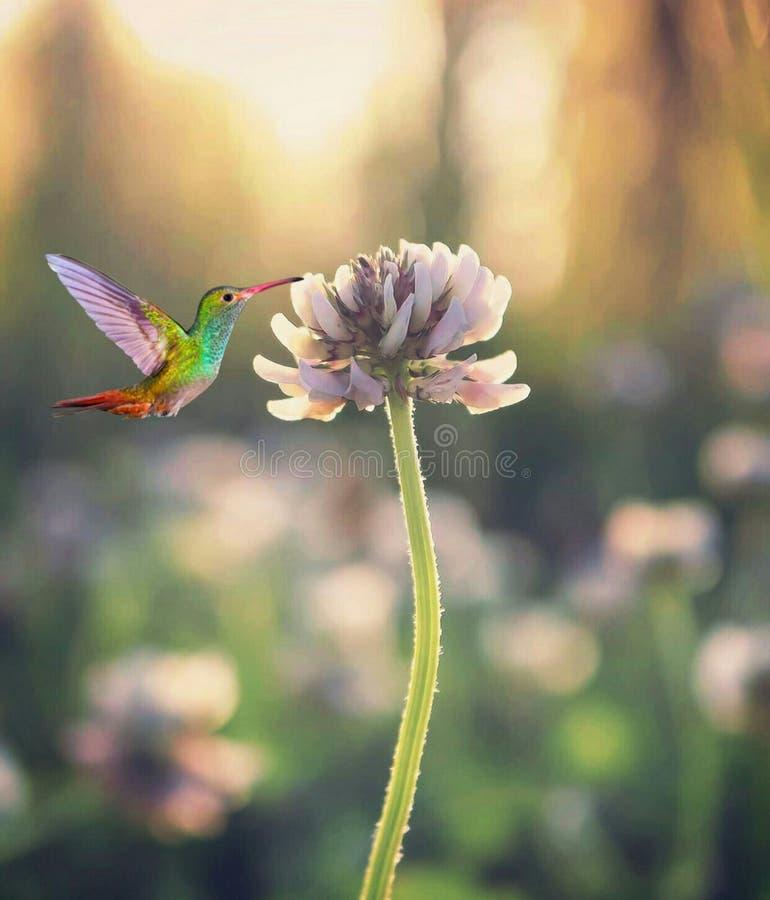 Free Hummingbirds Suck Flower Honey Stock Image - 192338961