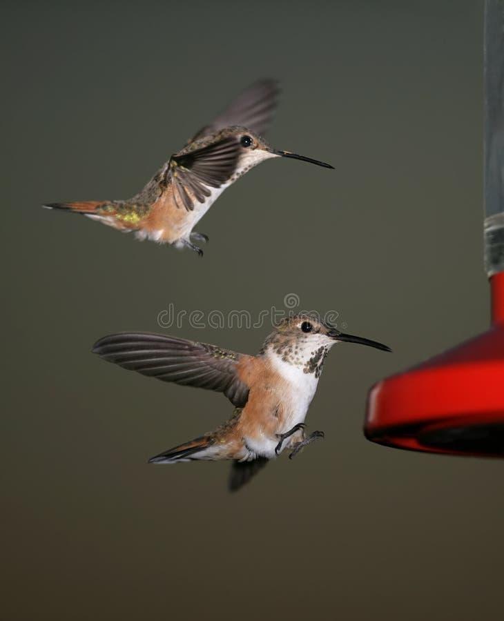 hummingbirds två royaltyfri foto