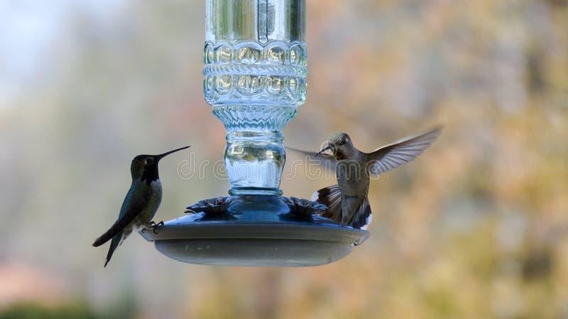 hummingbirds två royaltyfri bild