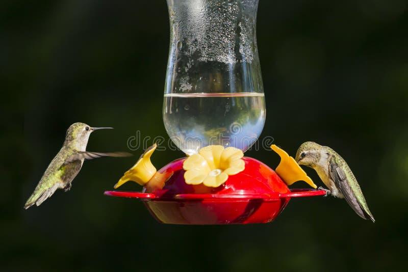hummingbirds fotografering för bildbyråer