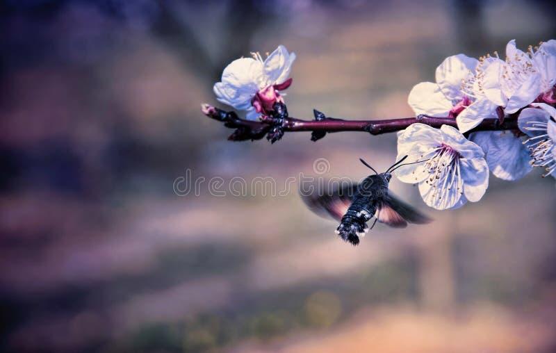 Hummingmoth Pollinate A Flower Stock Photo