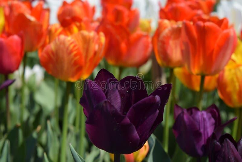 HUMOR BRILLANTE violeta del TULIPÁN de la PRIMAVERA fotos de archivo