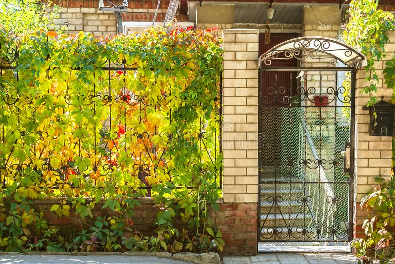 Humor del otoño, estaciones Hojas de uvas salvajes del rojo amarillo brillante fotografía de archivo libre de regalías