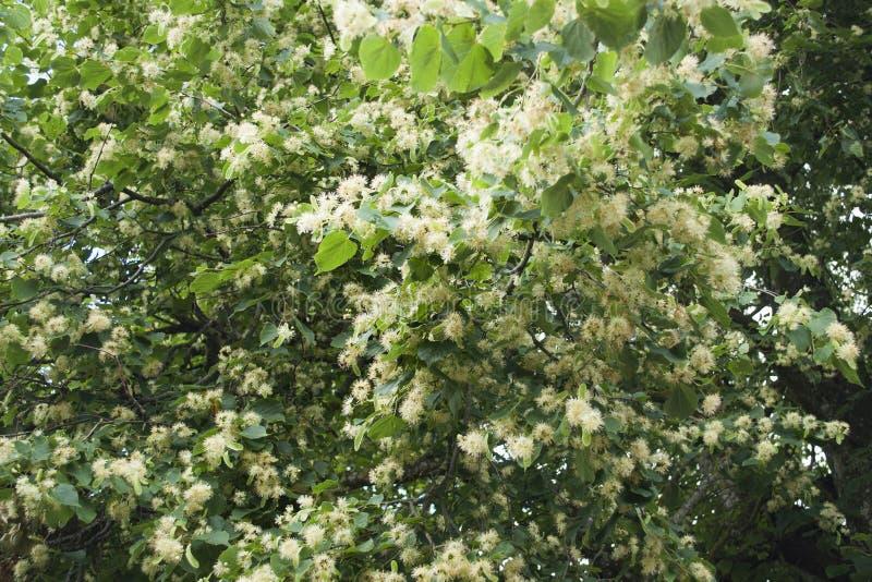 Humor do verão com as flores frescas do cal pequeno-com folhas para o chá saudável erval fotos de stock royalty free