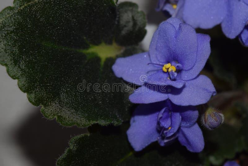 HUMOR violeta HOME da MOLA fotos de stock