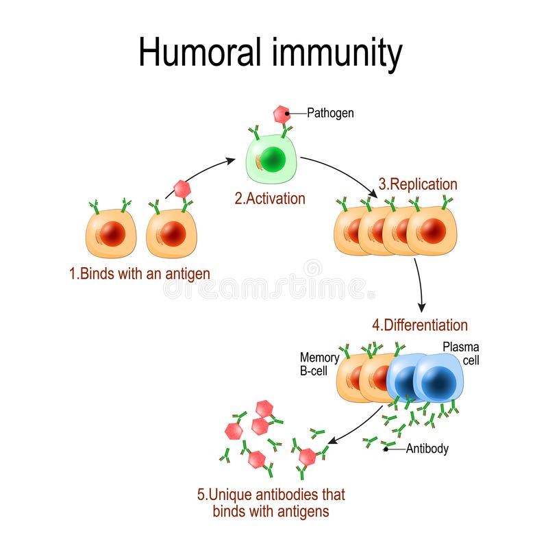 Humoral immunity. antibody-mediated immunity. Viruse, Lymphocyte, antibody and antigen. Vector diagram for educational, biological stock illustration