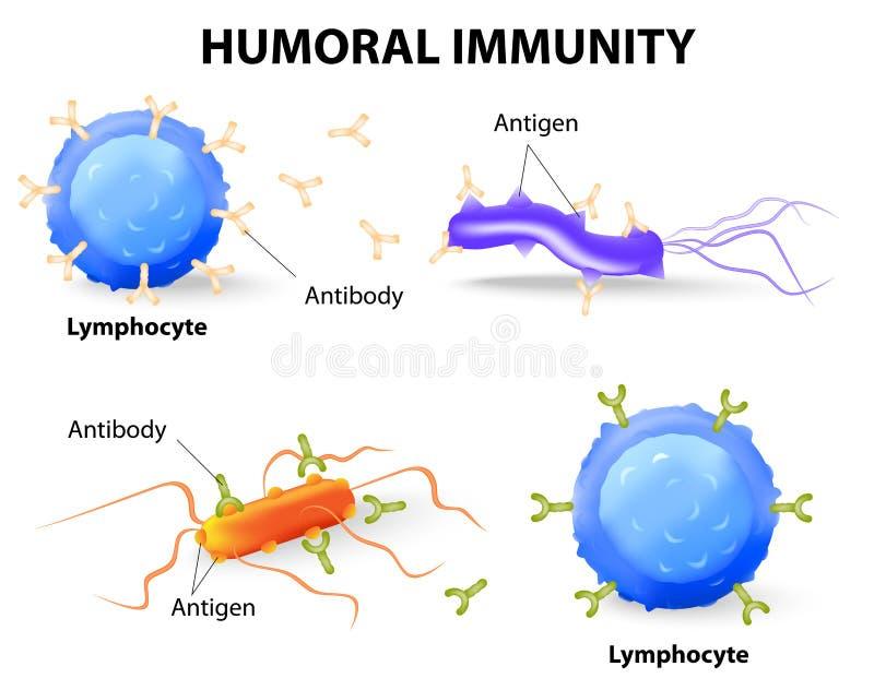 Humoralna odporność. Limfocyt, niwecznik i antygen, ilustracji