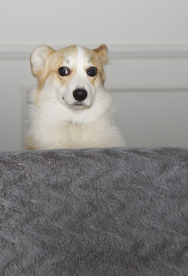 Humoristiskt foto av den inhemska hunden som ser hosoffan Rolig stående av den lilla hunden arkivfoton