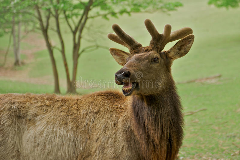 Humorous Elk. Young elk, or wapiti (Cervus canadensis), with a humorous expression as if talking royalty free stock image