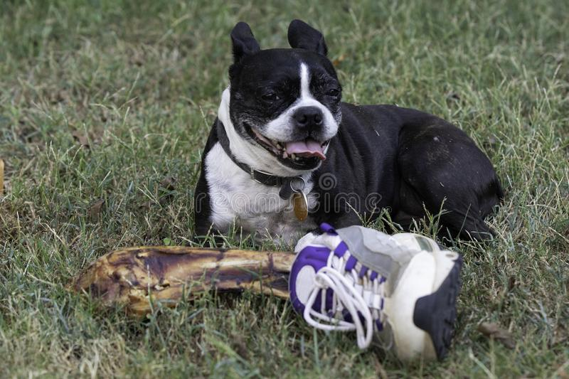 Funny Boston Terrier guarding human leg bone royalty free stock photography