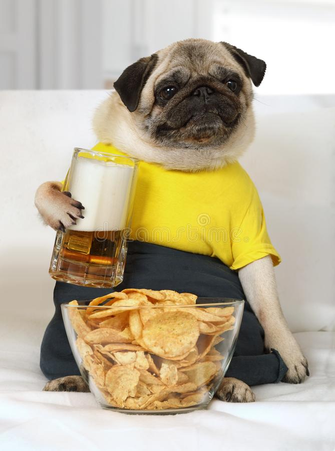 Pug dog with a glass of beer and chips. Humorous photo of a pug dog lying on the couch with a glass of beer and chips royalty free stock photography