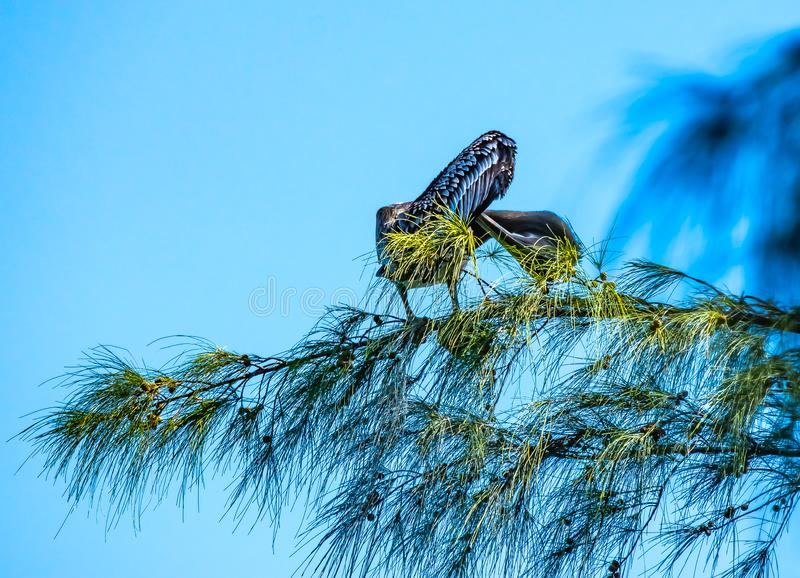Pelican Preening in the Pine royalty free stock images