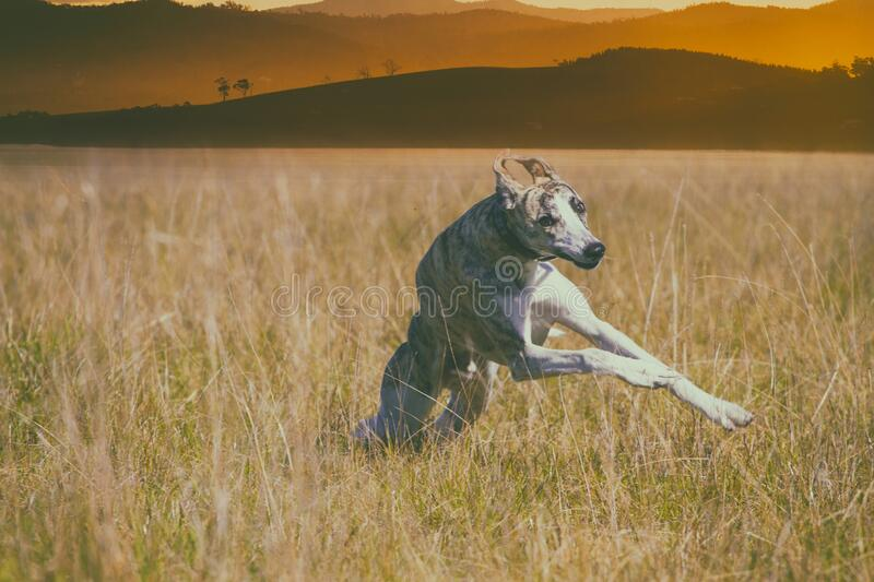 Crazy young whippet dog making funny moves stock image