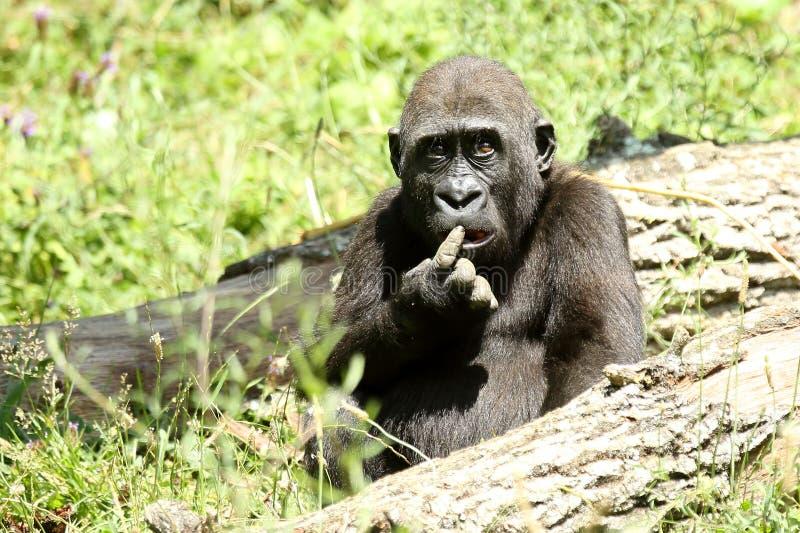 Humourous gorilla royaltyfria foton