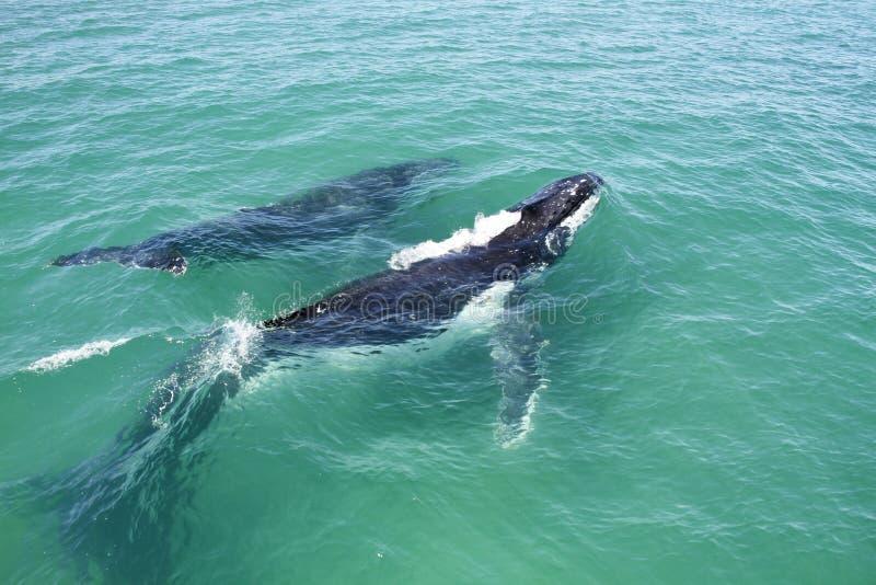Humpback łydka i wieloryb zdjęcia stock