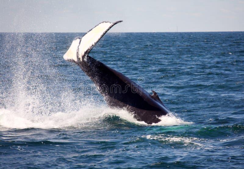 humpback ουρά στοκ εικόνα με δικαίωμα ελεύθερης χρήσης