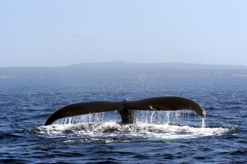 humpback φάλαινα ουρών στοκ εικόνα με δικαίωμα ελεύθερης χρήσης