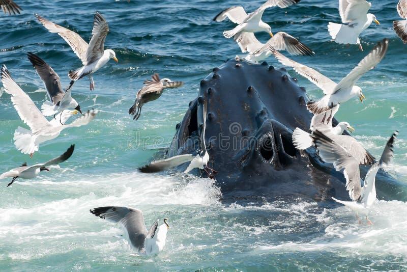 humpback φάλαινα novaeangliae megaptera στοκ φωτογραφία
