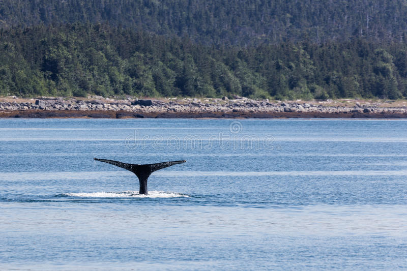 Humpback in Alaska. Humpback off the coast of Admiralty Island, Alaska stock image