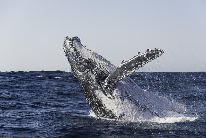 Humpback Breach. Humpback breaches off the east coast of South Africa stock images
