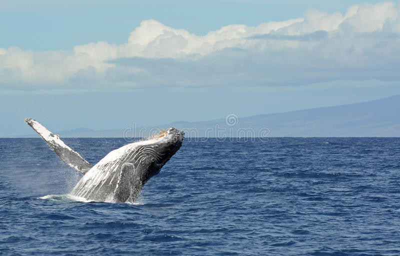 Download Humpback Breaching In Maui Stock Images - Image: 22473544