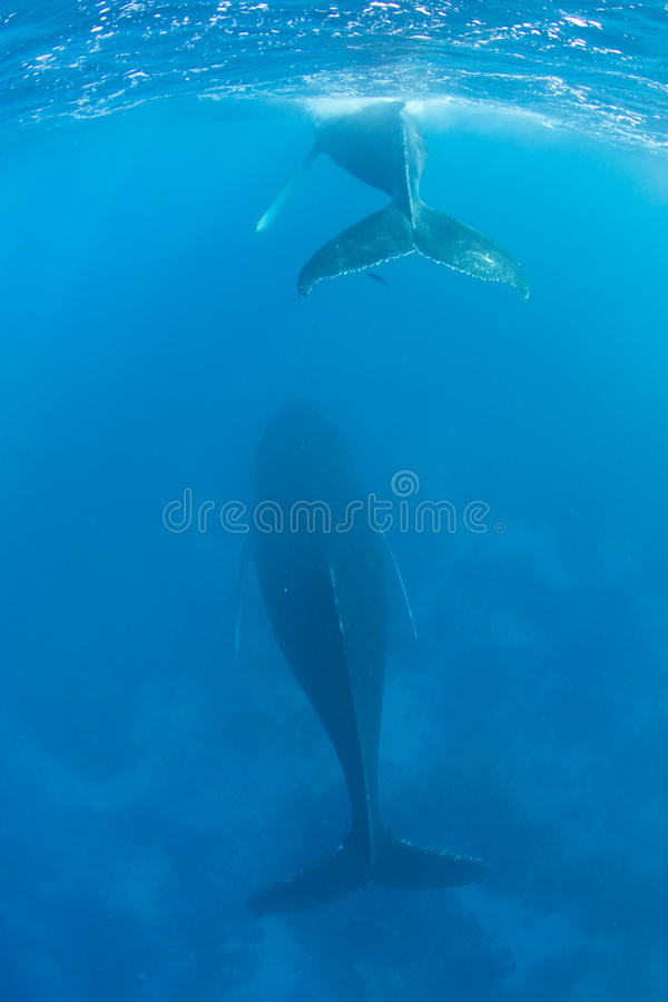 Humpback Calf and Mother in Blue Water. A Humpback whale comes to the surface to breathe as its mother sleeps below in blue water royalty free stock photography