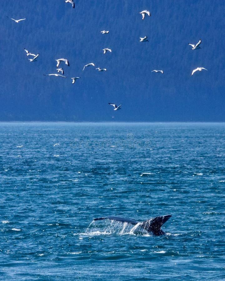 Humpback di immersione subacquea immagini stock